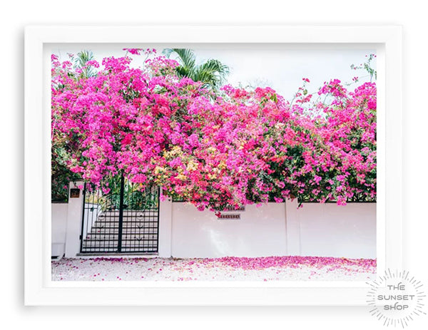 """Bougainvillea flower wall art. Vibrant Bougainvillea blooming over a white wall and black iron gate. You can't help but smell the ocean air and feel the warmth of the sun on your skin with one glance at this gorgeous blooming Bougainvillea in vibrants shades of pink, magenta, and yellow. Welcome back to your tropical paradise. """"Bloom Baby Bloom"""" blooming Bougainvillea print by Samba to the Sea."""