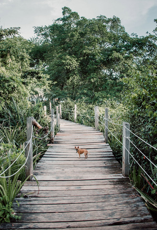 Gidget the Chihuahua standing on a wood bridge to the beach at Las Catalinas, Costa Rica. Photographed by Kristen M. Brown, Samba to the Sea.