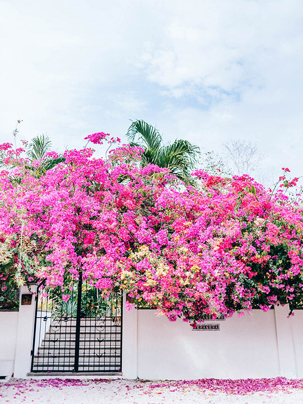 "Vibrant Bougainvillea blooming over a white wall and black iron gate. You can't help but smell the ocean air and feel the warmth of the sun on your skin with one glance at this gorgeous blooming Bougainvillea in vibrants shades of pink, magenta, and yellow. Welcome back to your tropical paradise. ""Bloom Baby Bloom"" blooming Bougainvillea print by Samba to the Sea."