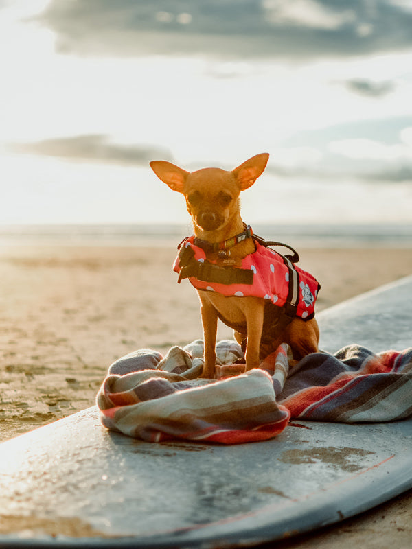Gidget Goes Surfing in Tamarindo Costa Rica! Photo of Gidget the Chihuahua sitting on a surfboard on the beach in Tamarindo Costa Rica during sunset. Gidget is sitting on a Faherty Brand poncho and Wingnut Noserider surfboard and wearing a pink polka dog dog life vest.