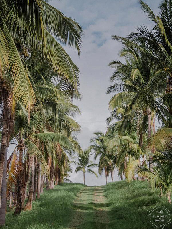 Dirt road lined with palm trees in Costa Rica. Palm tree print at The Sunset Shop by Samba to the Sea.