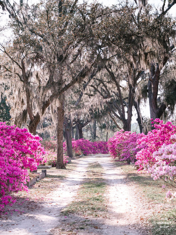 "Pink azaleas in boom in Savannah, Georgia. There's just something sweeter about Savannah when her azaleas are blooming in vibrant shades of pink. Experience the magic of Savannah in bloom with ""Sweet Savannah"". Photographed by Kristen M. Brown of Samba to the Sea for The Sunset Shop."
