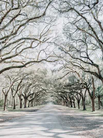 Dreamy Spanish Moss Oak Tree lined driveway at Wormsloe Plantation in Savannah, Georgia. Photographed by Kristen M. Brown, Samba to the Sea at The Sunset Shop.