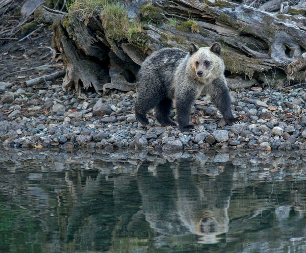 Grizzlies sleep easier as Province announces total ban on hunting