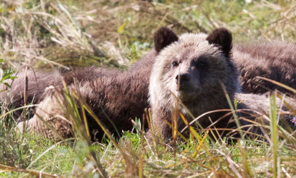 Charlie Russell: on grizzly bears and coexistence