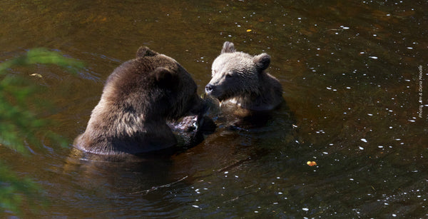 Left off the SARA list for too long, grizzly bears need your help to gain federal protection