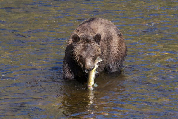 GBF's RESPONSE TO BC PROVINCIAL GOVERNMENT'S PROPOSED GRIZZLY BEAR HUNT POLICY REGULATIONS