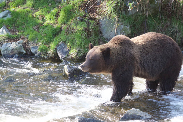 RELEASE: BC Hunters Support Ban On Grizzly Bear Hunt