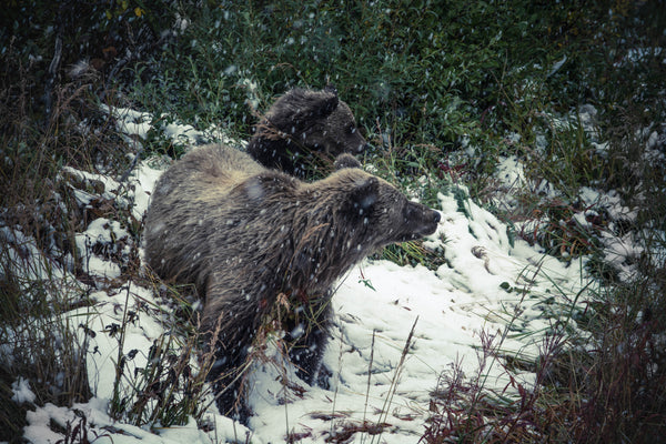 Surviving the winter: what we can learn from hibernating bears