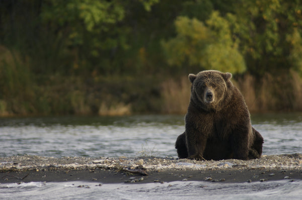 The Elaho grizzly: fight or flight?