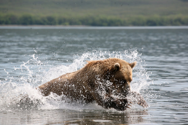 RELEASE: Bear viewing industry committed to conservation as operations give back, aim to exceed hunters' contributions