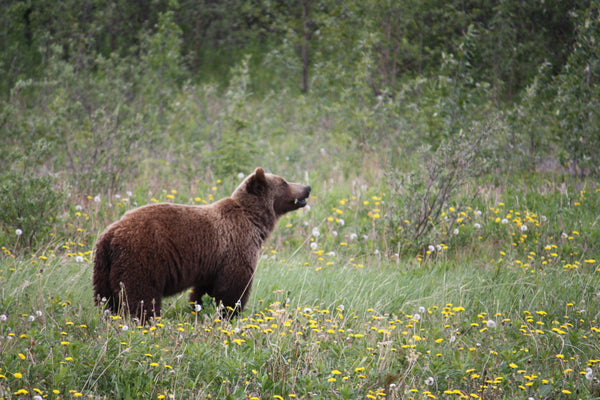 Support for North Cascades grizzly population recovery