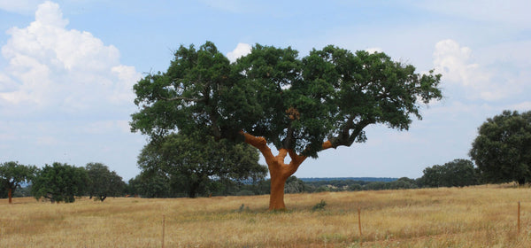 Cork Tree Image