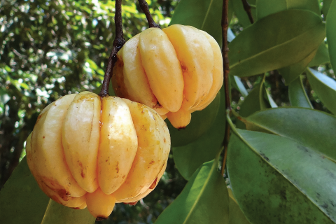 Garcinia Cambogia Extract Appetite Suppression