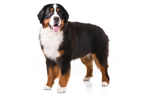 Bernese Mountain Dog Gift Ideas