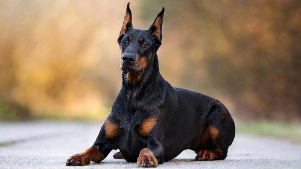 Doberman Pinscher Gift Ideas