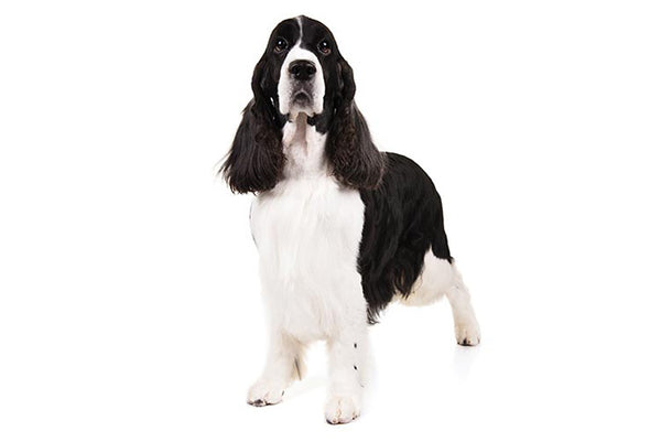 English Springer Spaniel Gift Ideas