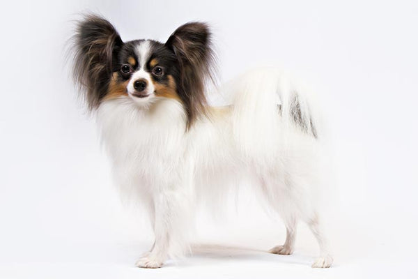 Papillon Gift Ideas