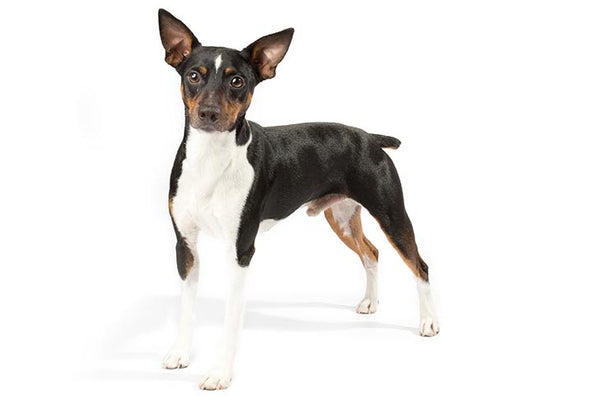 Rat Terrier Gift Ideas