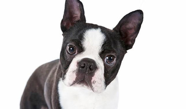 Boston Terrier Gift Items
