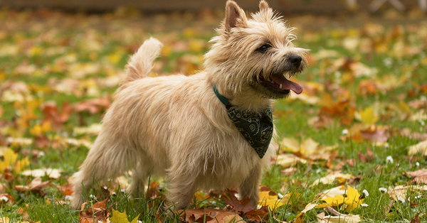 Cairn Terrier Gift Ideas