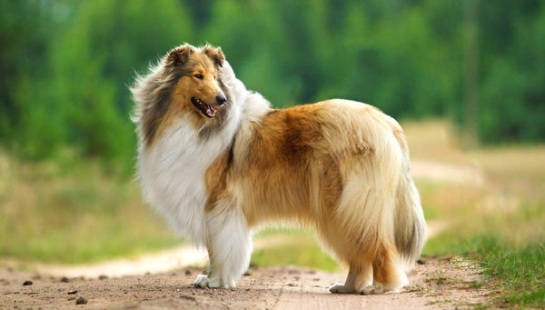 Rough Collie Gift Ideas