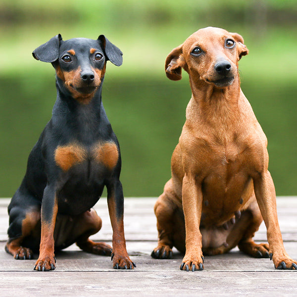 Miniature Pinscher Gift Ideas