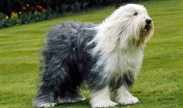 Old English Sheepdog Gift Ideas
