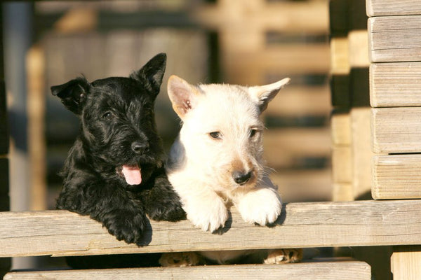 Scottish Terrier Gift Ideas - Scottie