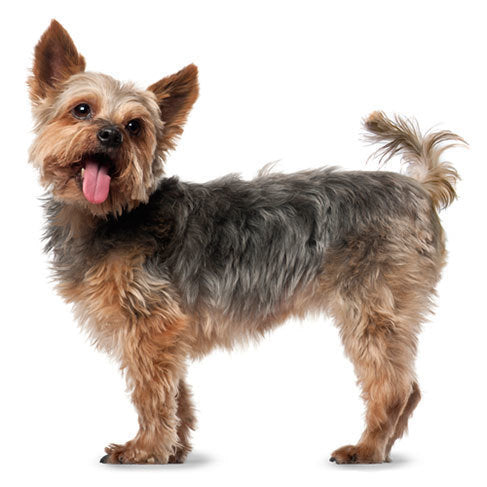 Yorkshire Terrier Gift Ideas - Yorkie