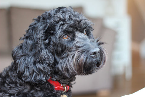 Black Cockapoo with a moustache