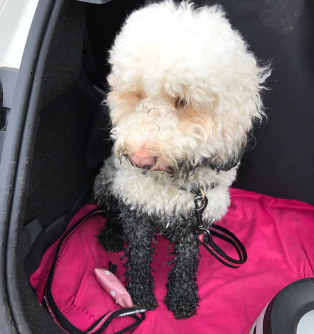 White cockapoo with very muddy legs in the back of a car