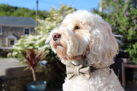Cockapoo wearing a bow tie The Cosy Canine Company