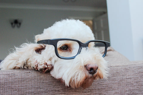 white cockapoo wearing glasses