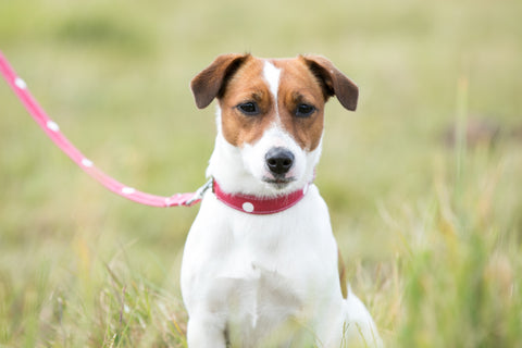Jack Russell Terrier wearing a handmade red polka dot collar and lead from The Cosy Canine Company