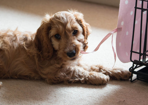Cockapoo puppy laying next to crate with pink cover