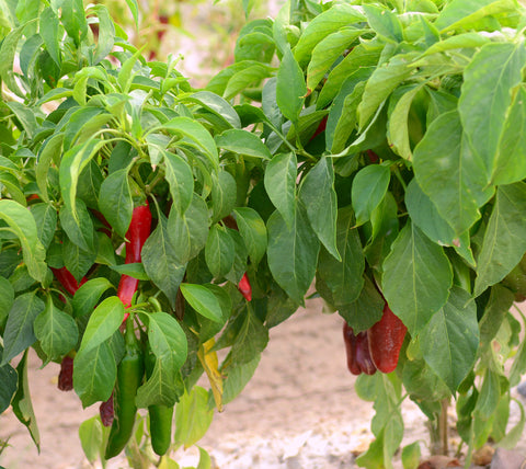 Hatch Chiles in the Field