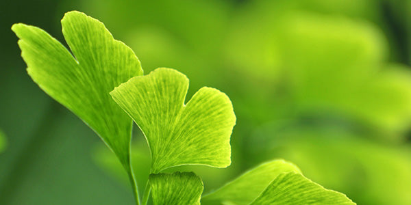 Ginkgo Biloba And Traditional Chinese Medicine