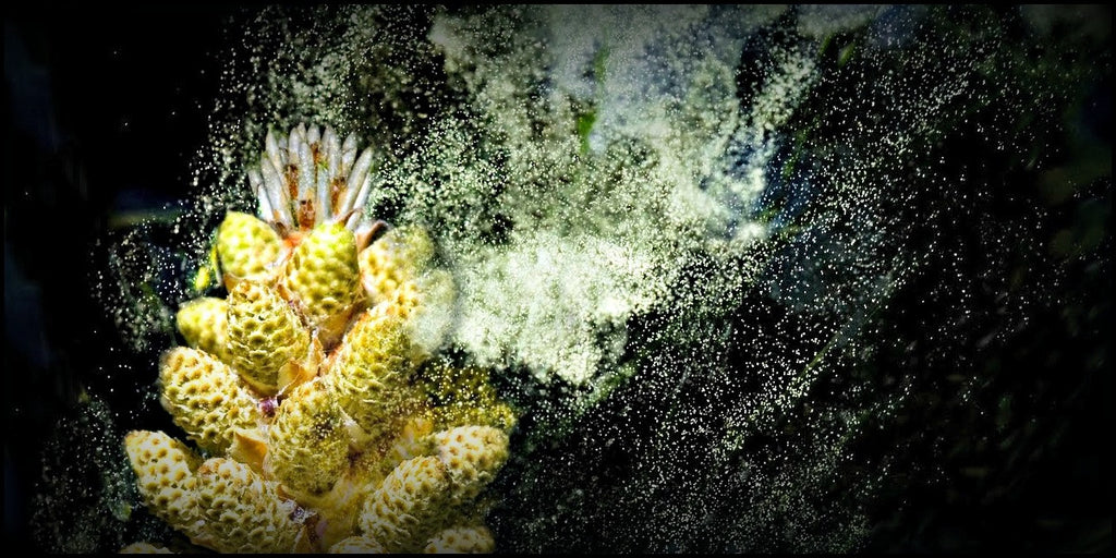 Pine Pollen, Natures Ultimate Superfood?