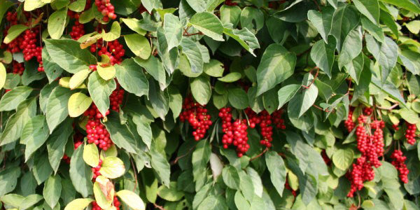 Schisandra The New Adaptogenic Herb