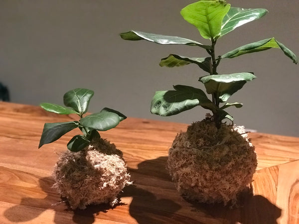 Kokedama - Fiddle Leaf Fig