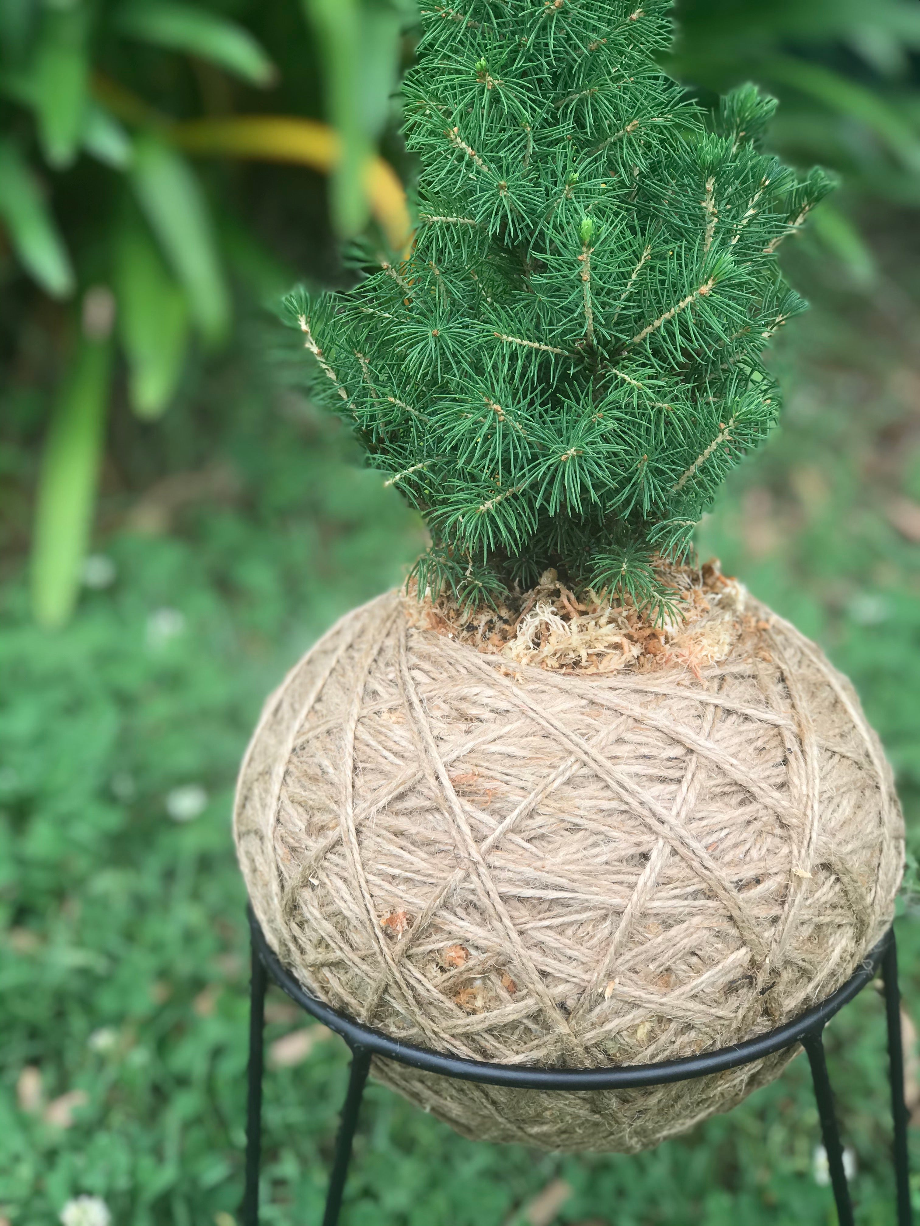 Limited Edition Christmas Tree Kokedama