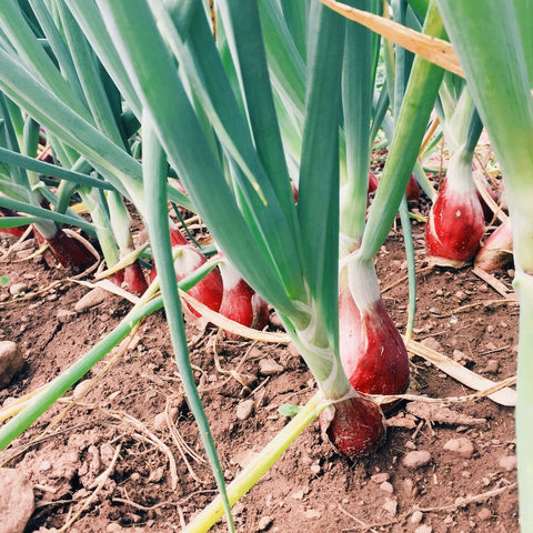 Onions--Red Long Tropea
