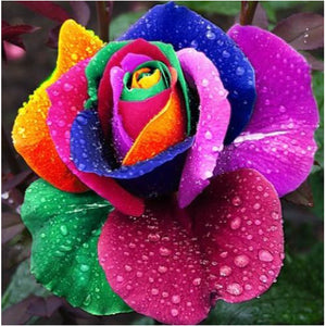 100 RARE RAINBOW ROSE SEEDS