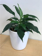 Peace Lily - Crafty Plants Perth WA