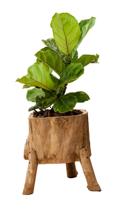Fiddle Fig - Crafty Plants Perth