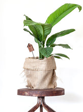 Peace lily - crafty plants perth delivery