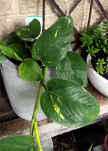 Devils Ivy, easy care indoor plant in planter