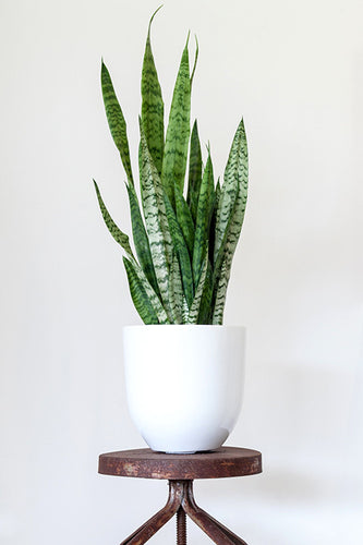 **Special** Snake Plant in White Pot
