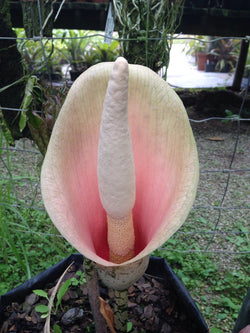 *Amorphophallus bulbifer